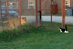 사자에게 도발하는 간 큰 고양이