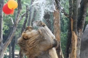 [서울포토] '앗 차가워!'… 물풍선 터뜨리며 더위 식히는 사자