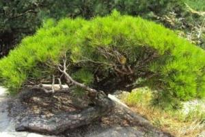 아차산 소나무 훔쳐간 일당 경찰 검거…2년여 사전 준비도
