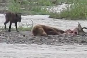 곰 먹이 탐하던 늑대는 여전히 배고프다