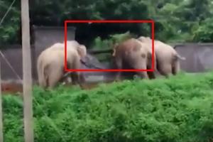 농장 담장 무너뜨리고 도주한 코끼리들