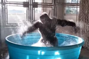 목욕하면서 신이 난 고릴라의 댄스 실력