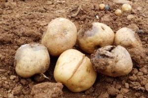 감자·앙파 가격 들썩…전국 비소식이 가뭄 피해 해갈할까