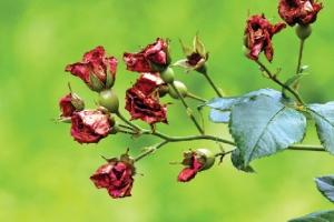 [한 컷 세상] 장미의 꽃말은 변하지 않는다