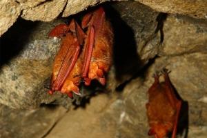 '붉은박쥐' 진화의 비밀, 세계 최초로 풀었다