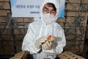 한국 온 스페인산 병아리 13만 마리