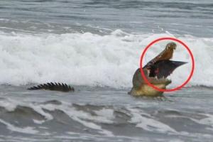 해변서 가오리 사냥해 잡아먹는 악어 포착
