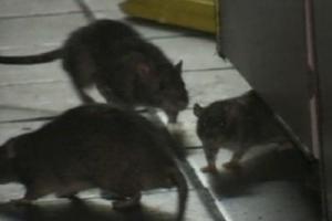 '사람 수 만큼 쥐가 산다?'…뉴욕시 '365억짜리 쥐잡기'