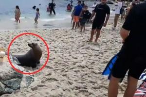 '먹을 것 좀 주세요!' 굶주린 바다사자 출현에 아수라장 된 해변