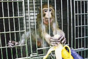 '돼지 각막 이식' 원숭이 234일간 정상기능 유지