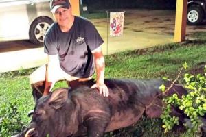 美엽사, 마당에 침입한 372㎏짜리 초대형 멧돼지 사냥