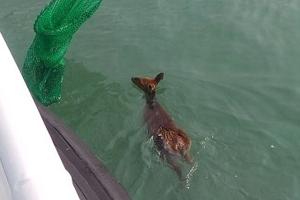바다에 빠져 허우적대던 새끼 고라니 구조
