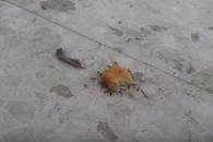 개미들의 놀라운 협동심…'집채만 한 치킨 너겟도 거…