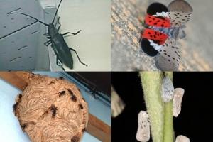 하늘소·미국선녀벌레·꽃매미…해충 번식소 된 '찜통' 한반도