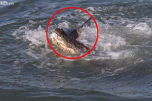 물고기 노리는 상어 낚아채 잡아먹는 악어