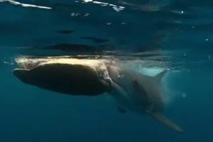 붉은바다거북 잡아먹는 뱀상어 포착