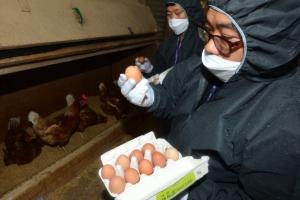 """살충제 계란 피프로닐 먹으면…""""장기손상·두통·감각이상 가능성""""(종합)"""