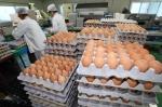 출하를 기다리는 계란들