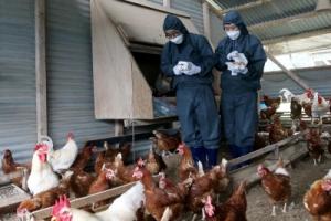 살충제 계란 파문, 왜 발생했나?…비좁은 닭장서 살충제 뿌리고 사육