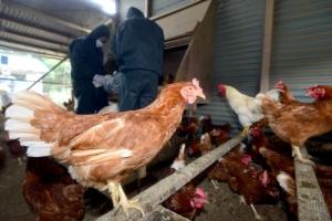 """살충제 달걀 공포에 """"치킨 먹어도 되나요""""…시민들, 닭고기 안전성도 우려"""