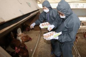 '피프로닐' 정기 검사는 올해 처음…그동안 '살충제 달걀'에 무방비