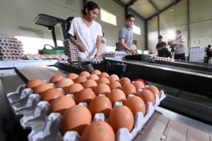 대형 마트서 유통 중인 달걀서 살충제 성분 검출...전국 6농가 초과(종합)
