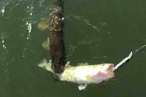 낚시로 잡은 물고기 탐하던 대어의 최후