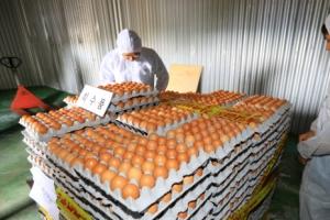살충제 계란 농장 무더기 검출…국민 1인당 연간 12.5개 먹은 셈