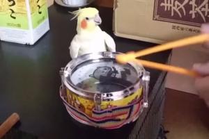 주인과 드럼 합주하는 애완 앵무새