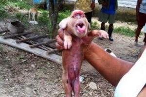쿠바서 원숭이 닮은 돼지 태어나