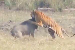 멧돼지 사냥하는 호랑이 영상