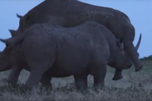 동료 짝짓기 훼방 놓는 코뿔소