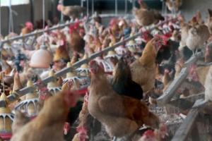 'DDT 검출' 산란계 농장 닭·계란 전량 폐기