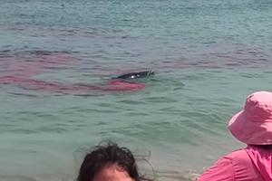 백상아리의 물개 공격 순간…피로 물든 해변