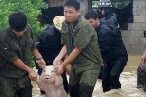 中 재난현장에서 구조된 '스마일 돼지' 인기폭발