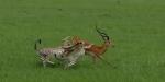임팔라 사냥하던 치타들의…
