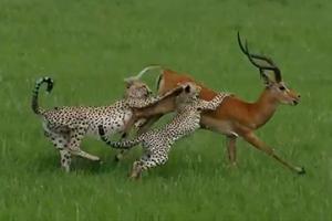 임팔라 사냥하던 치타들의 멋쩍은 결말