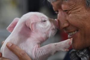 [포토 다큐] 항생제 없소… 뛰어 논 닭… 건강한 삶 돼지