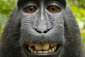 '원숭이 셀카' 수익 25%, 원숭이 위해 쓴다