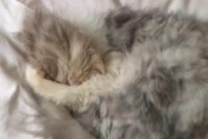 [별별영상] 독특한 소리로 코 고는 고양이