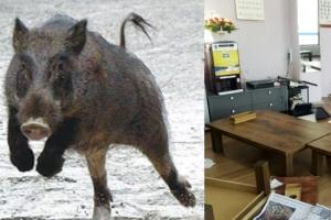 청주 식당에 멧돼지 난입해 5분 간 난동…주인은 몸싸움하다 부상