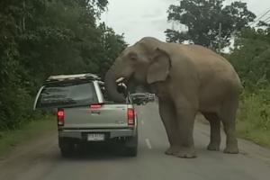 배고픈 야생 코끼리의 도발