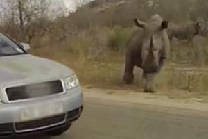 자동차 향해 돌진하는 코뿔소