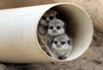 '우리는 미어캣 삼둥이'…