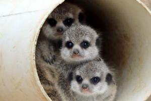 [포토] '우리는 미어캣 삼둥이'