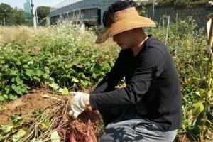 고구마 재배 청년농부 '손익 0원'… 영농정착금 '거름' 될까
