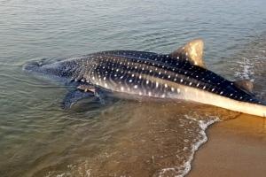 [포토] 영덕 해안서 발견한 고래상어