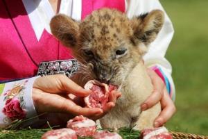 [포토] 추석 특식 먹는 아기 사자 '설이'