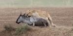 사자의 무자비한 누 사냥