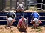 '달리는 돼지들'